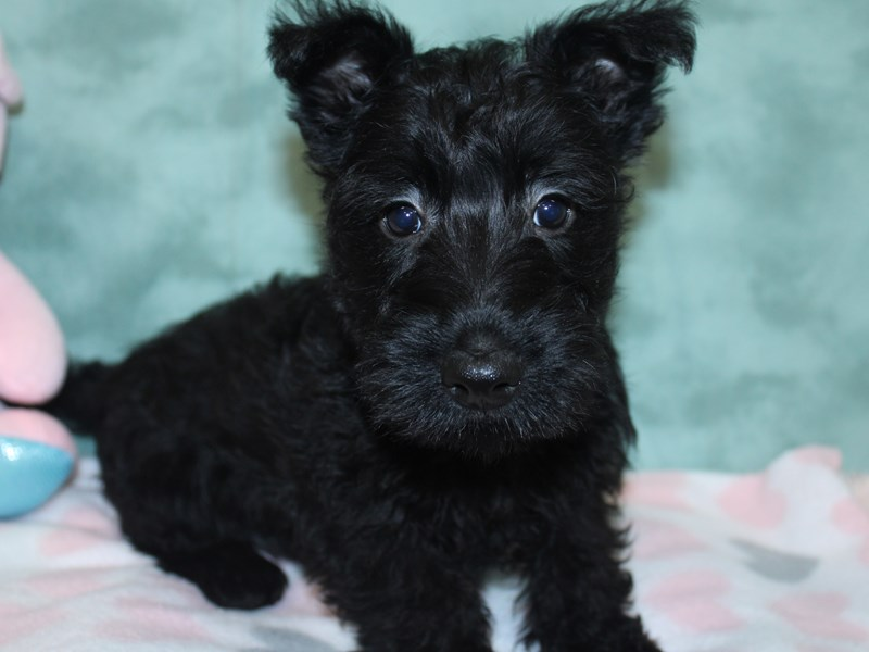 Scottish Terrier-Female-Black-2617291-Petland Dalton