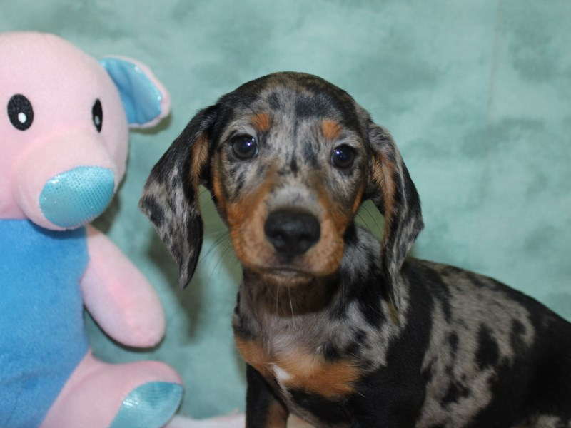 Dachshund-Male-Blue / Tan-2617292-Petland Dalton