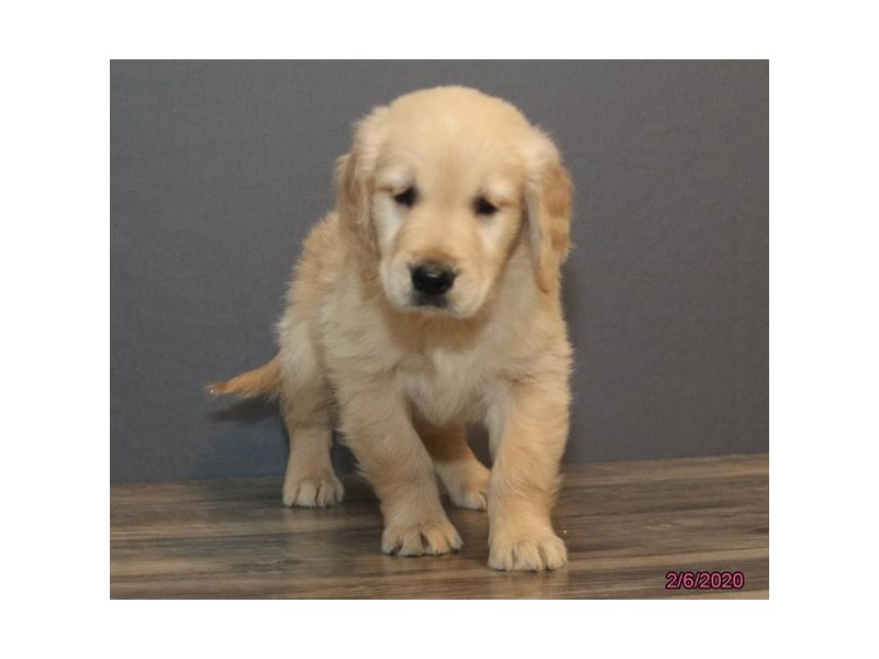 Golden Retriever-Male-Light Golden-2623268-Petland Dalton
