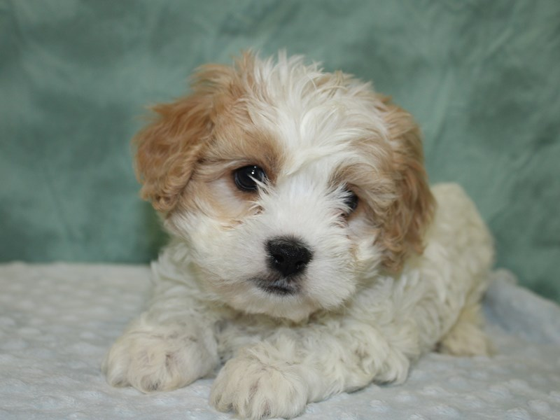 Cavachon-DOG-Male-BLENHEIM WHITE-2624689-Petland Dalton