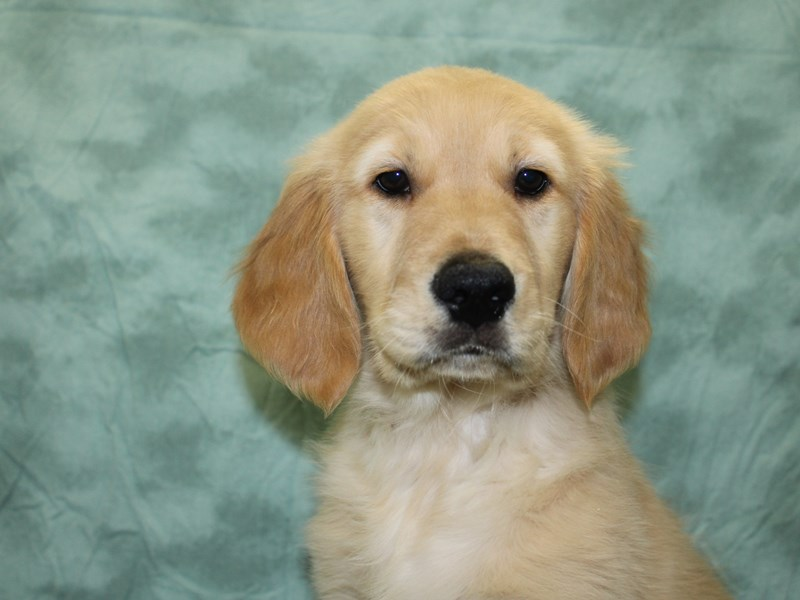 Golden Retriever-Male-Light Golden-2623259-Petland Dalton