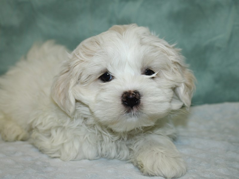 Teddy Bear-Female-CREAM WHITE-2624726-Petland Dalton