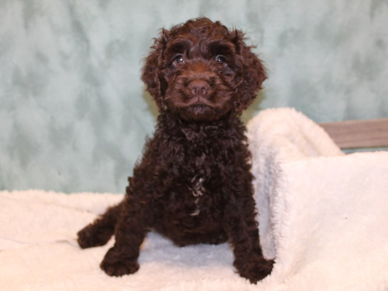 Cockapoo-Male-Brown-2580998-Petland Dalton