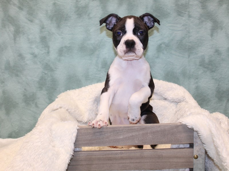 Boston Terrier-Female-BLK WHT-2577075-Petland Dalton