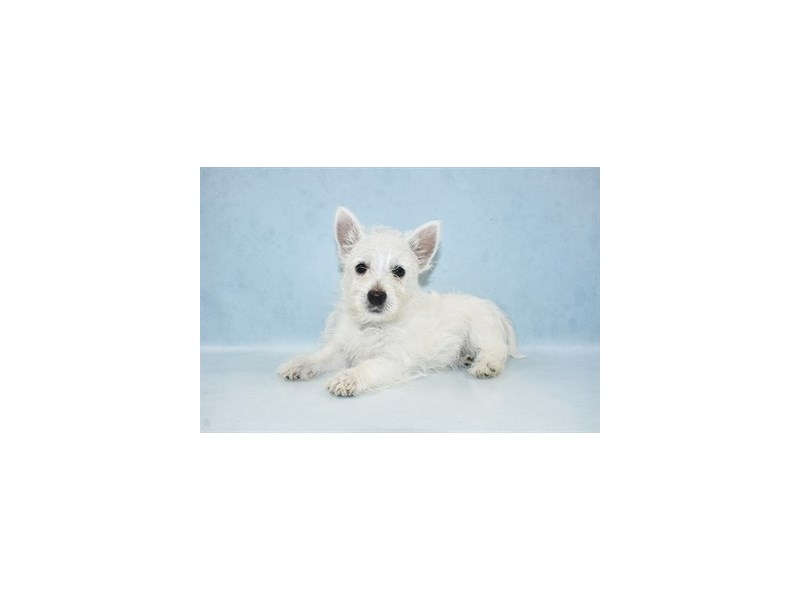 West Highland White Terrier-DOG-Male-White-2597289-Petland Dalton
