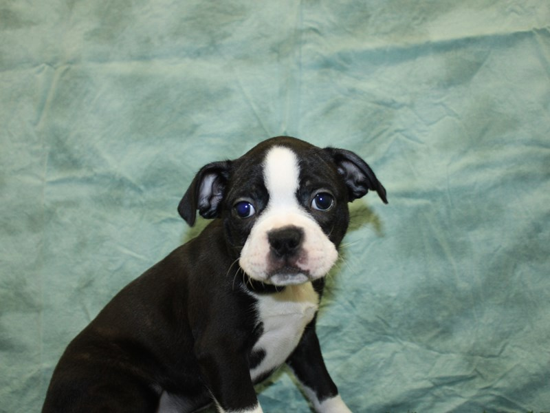 Boston Terrier-DOG-Female-BLK WHITE-2596069-Petland Dalton
