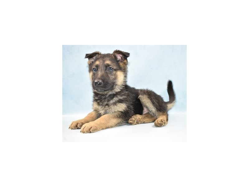 German Shepherd-DOG-Male-Black and Tan-2605137-Petland Dalton