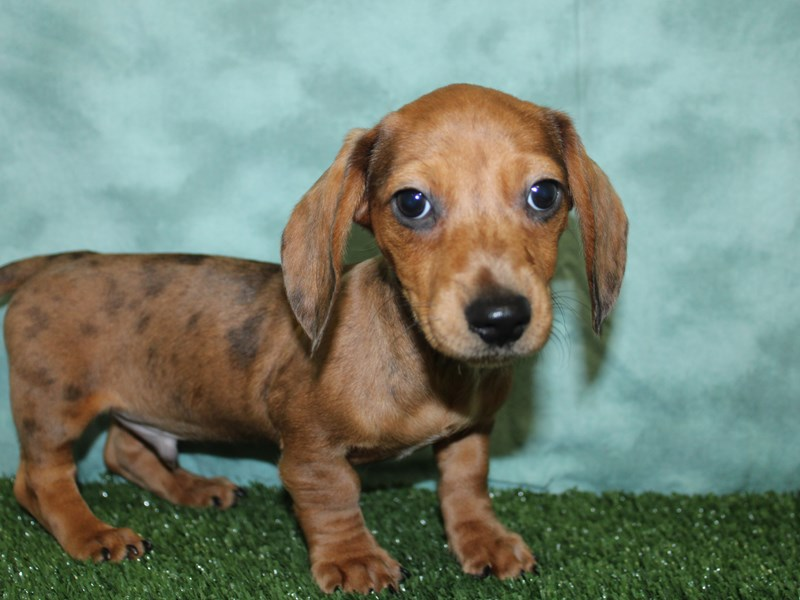 Dachshund-Male-Red-2605003-Petland Dalton