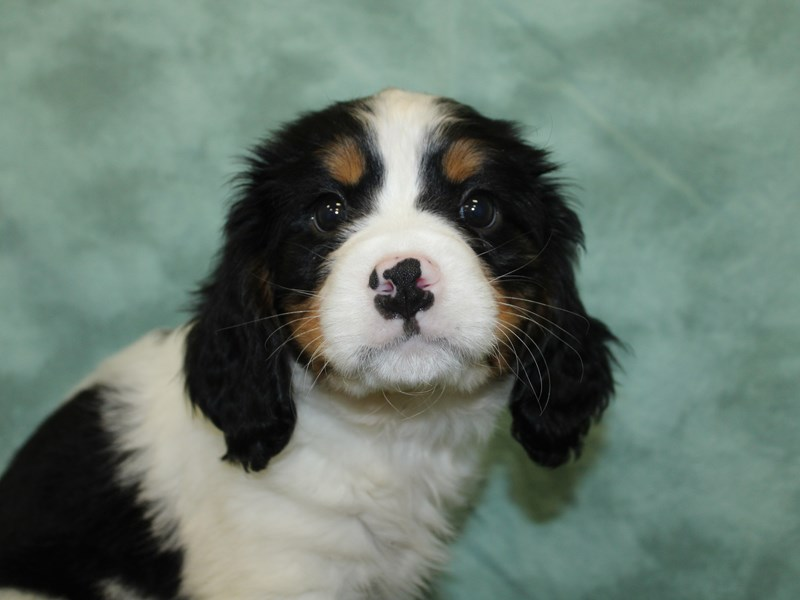 Mini Bernese-Male-Tri Color-2603162-Petland Dalton