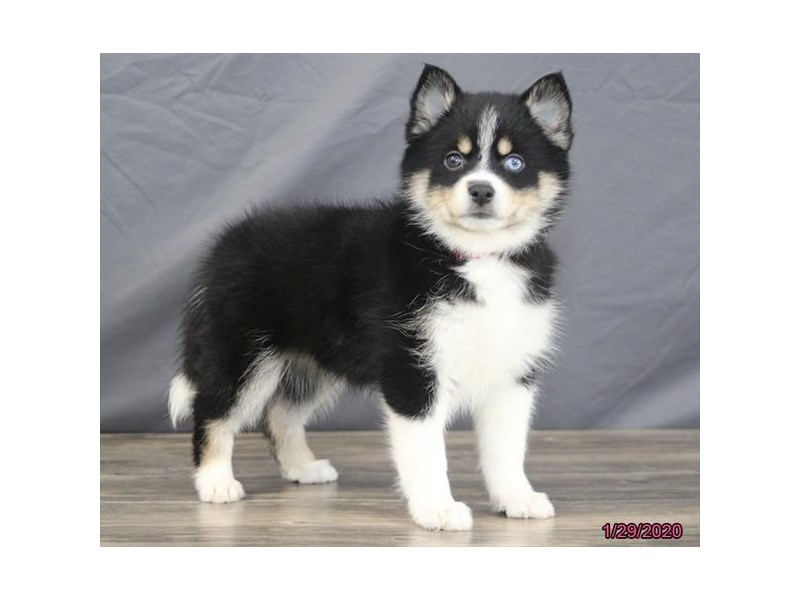 Pomsky-Female-Black / White-2608966-Petland Dalton