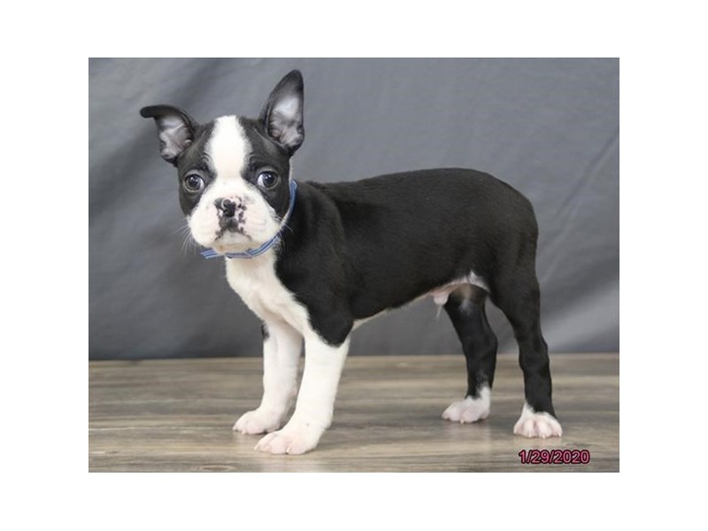 Boston Terrier-Male-Black / White-2609113-Petland Dalton