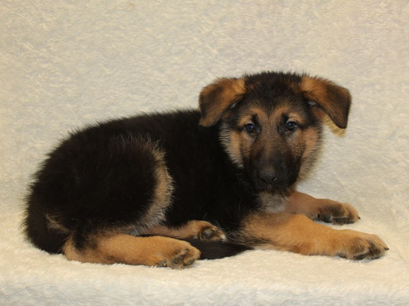 German Shepherd-Male-Black and Tan-2603324-Petland Dalton