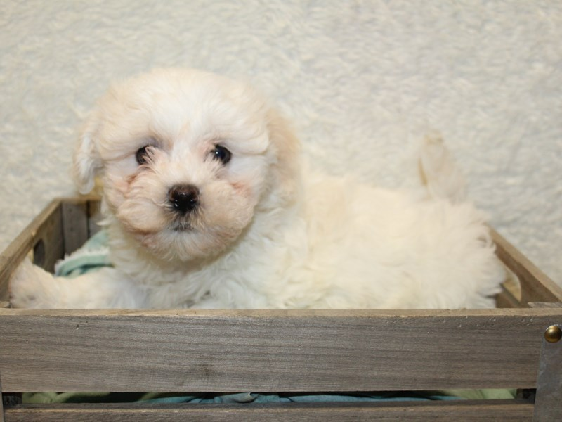 Havachon-Male-CREAM WHITE-2603633-Petland Dalton
