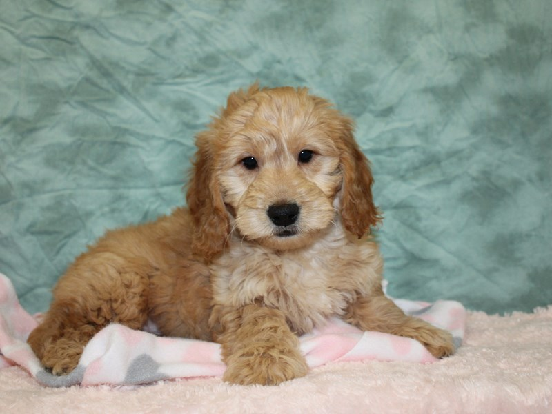 Goldendoodle Mini-Male-Golden-2608975-Petland Dalton