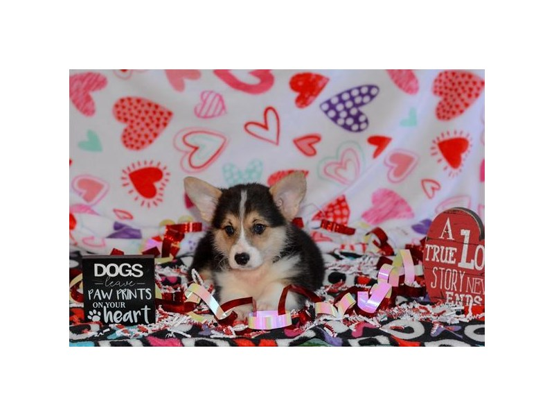 Pembroke Welsh Corgi-DOG-Male-Tri-Colored-2618012-Petland Dalton