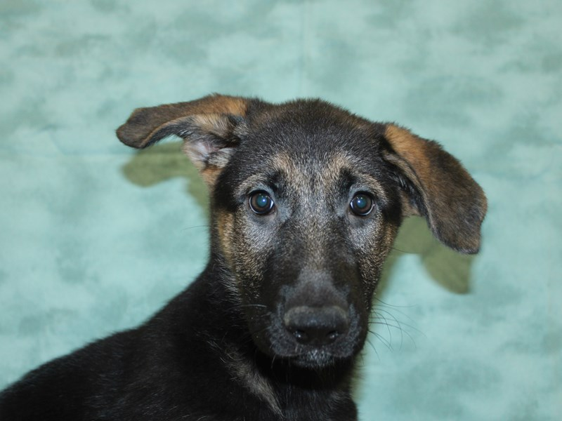 German Shepherd-DOG-Female-Black & Tan-2588349-Petland Dalton