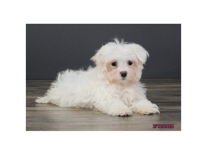 Maltese-Male-White-2623264-Petland Dalton