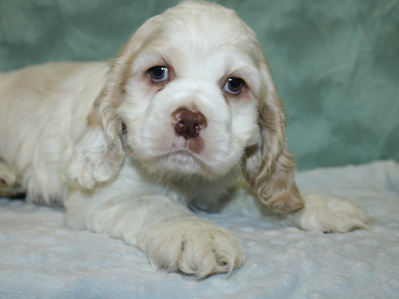 Cocker Spaniel-Male-BUFF WHITE-2625015-Petland Dalton