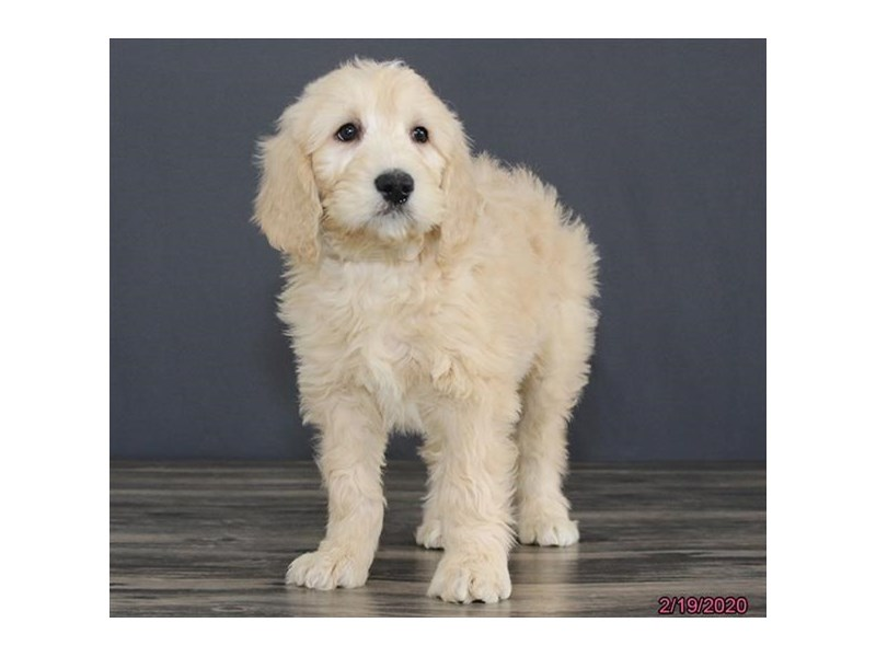 Goldendoodle 2nd Gen-Male-Cream-2630358-Petland Dalton