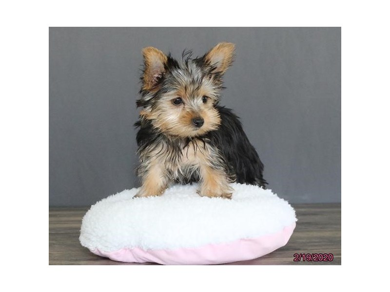 Yorkshire Terrier-DOG-Female-Black / Tan-2630364-Petland Dalton