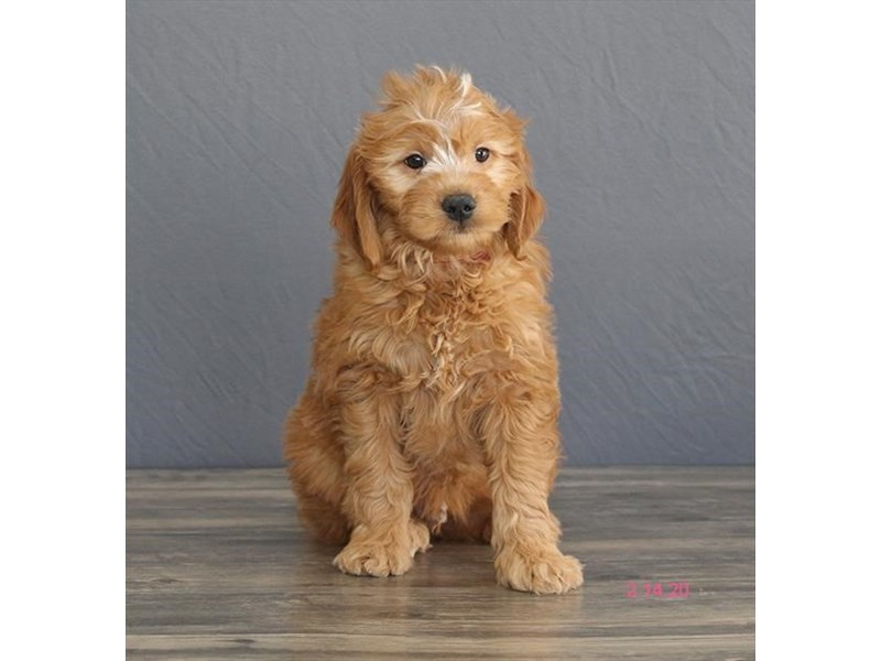 Goldendoodle-Female-Red-2630367-Petland Dalton