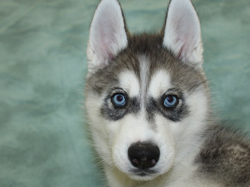 Siberian Husky-DOG-Female-Gray / White-2630369-Petland Dalton