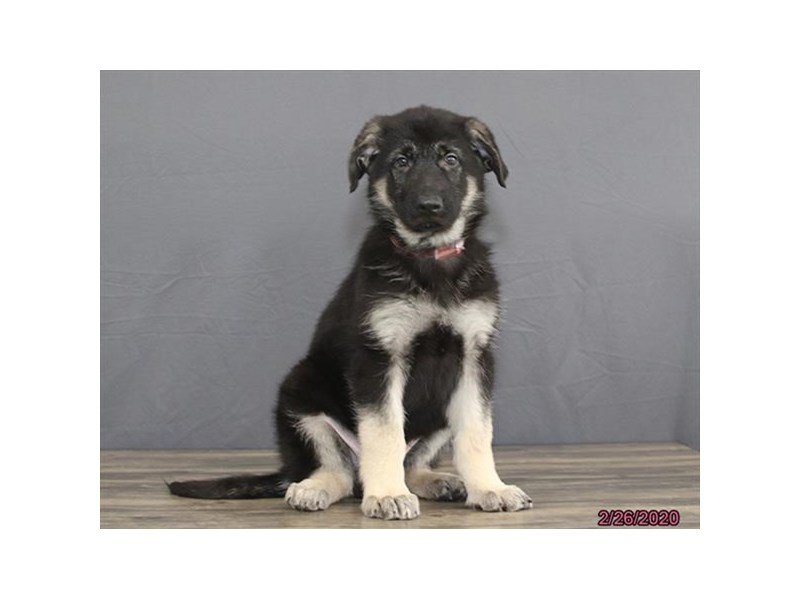 German Shepherd Dog-DOG-Male-Black / Tan-2638204-Petland Dalton