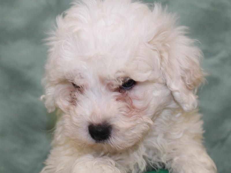 Bichon Frise-DOG-Male-White-2631911-Petland Dalton