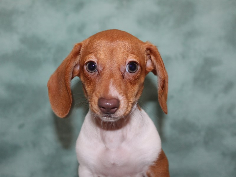 Dachshund-Female-RED-2624898-Petland Dalton
