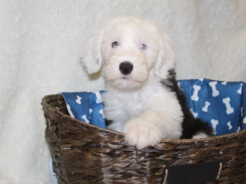 Old English Sheepdog-DOG-Female-Black White-2618083-Petland Dalton
