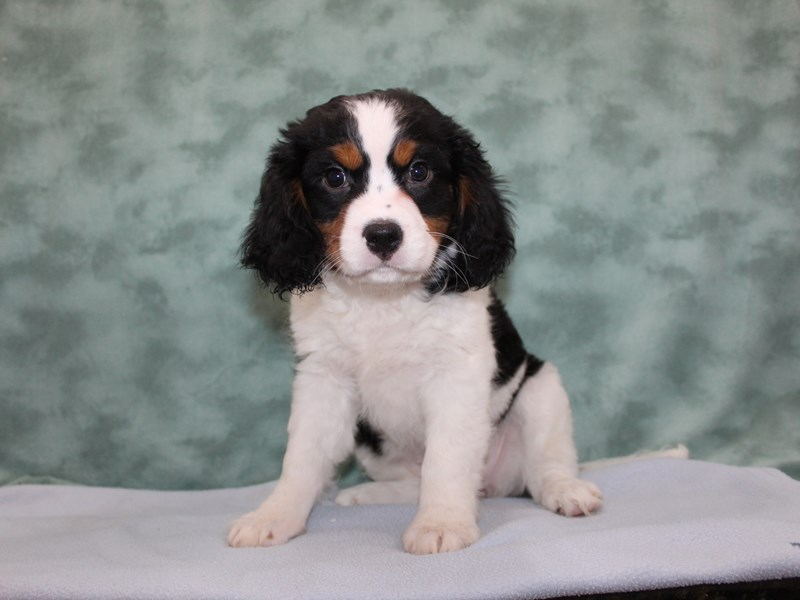 Mini Bernese-Female-Tri-2632054-Petland Dalton