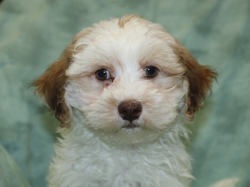 Teddy Bear-Male-brown white-2639729-Petland Dalton