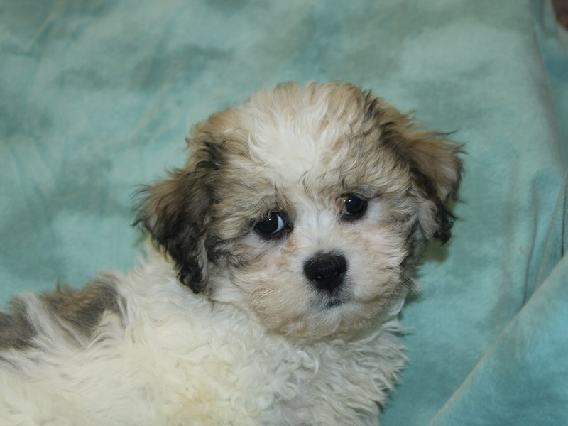Teddy Bear-DOG-Female-Brown White-2639512-Petland Dalton