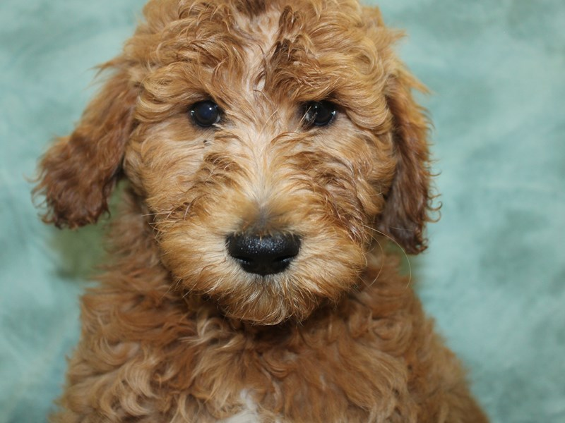 Goldendoodle 2nd Gen-DOG-Female-Apricot-2638203-Petland Dalton