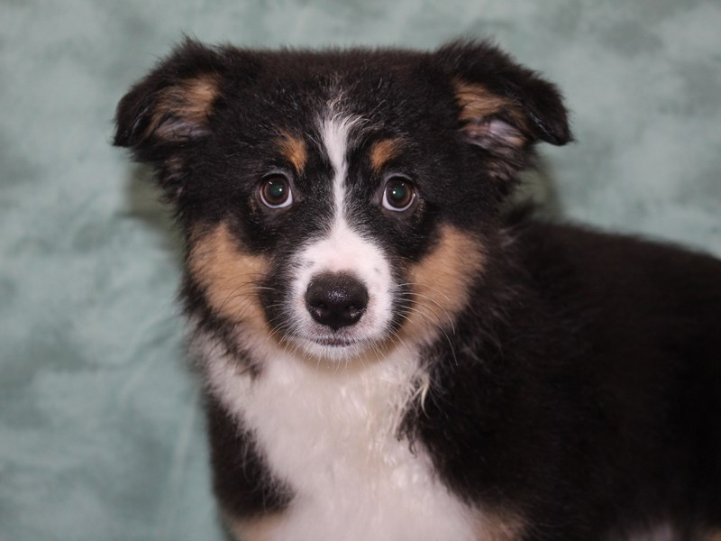 Miniature American Shepherd-Female-Black-2623263-Petland Dalton