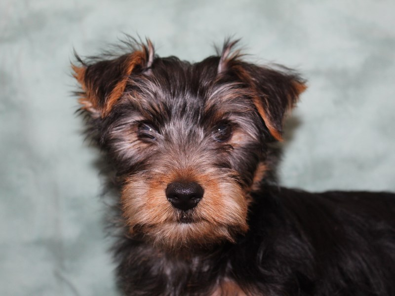 Yorkshire Terrier-DOG-Male-BLK TAN-2631940-Petland Dalton