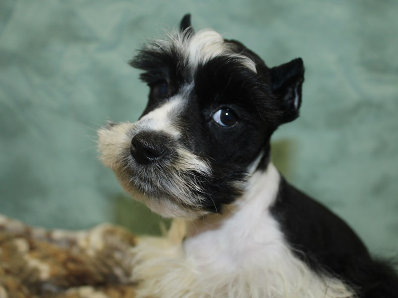 Miniature Schnauzer-DOG-Female-BLK WHITE-2647465-Petland Dalton