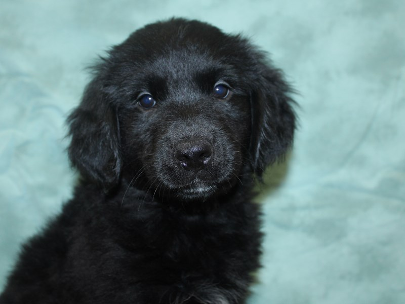 Goldendoodle-Female-Black-2647469-Petland Dalton