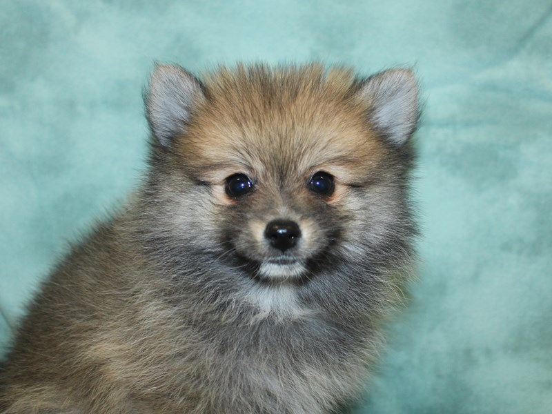 Pomeranian-Male-Red Sable-2646013-Petland Dalton