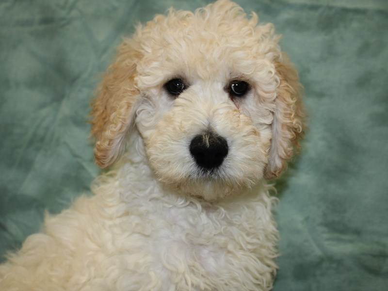 Goldendoodle 2nd Gen-Male-Cream-2646012-Petland Dalton