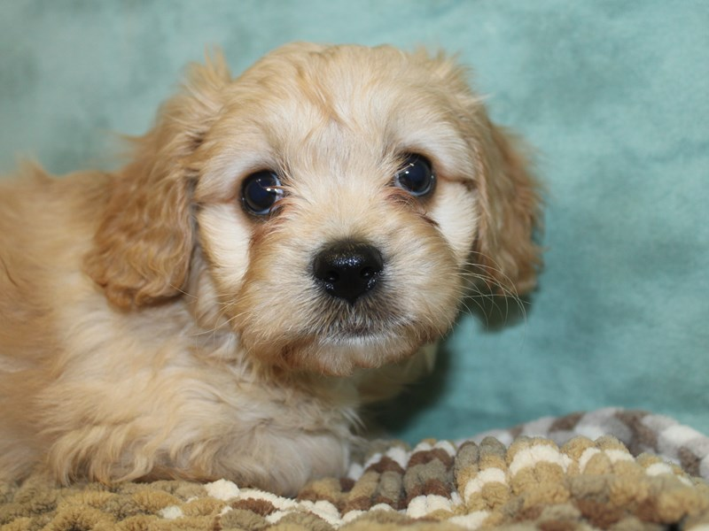 Cava Chon-DOG-Male-BLENHEIM-2647328-Petland Dalton