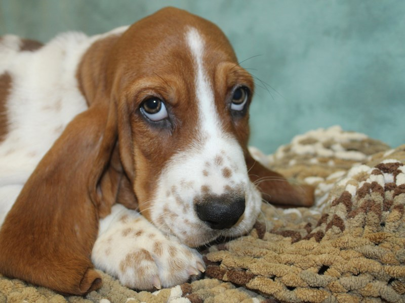 Basset Hound-Male-Red / White-2646020-Petland Dalton