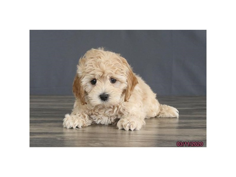 Cockapoo-Male-Buff-2653252-Petland Dalton