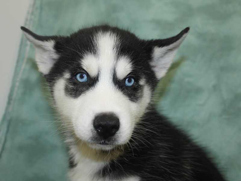 Siberian Husky-DOG-Male-Black & White-2654602-Petland Dalton