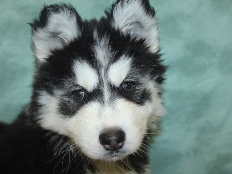 Siberian Husky-DOG-Female-Black & White-2654945-Petland Dalton