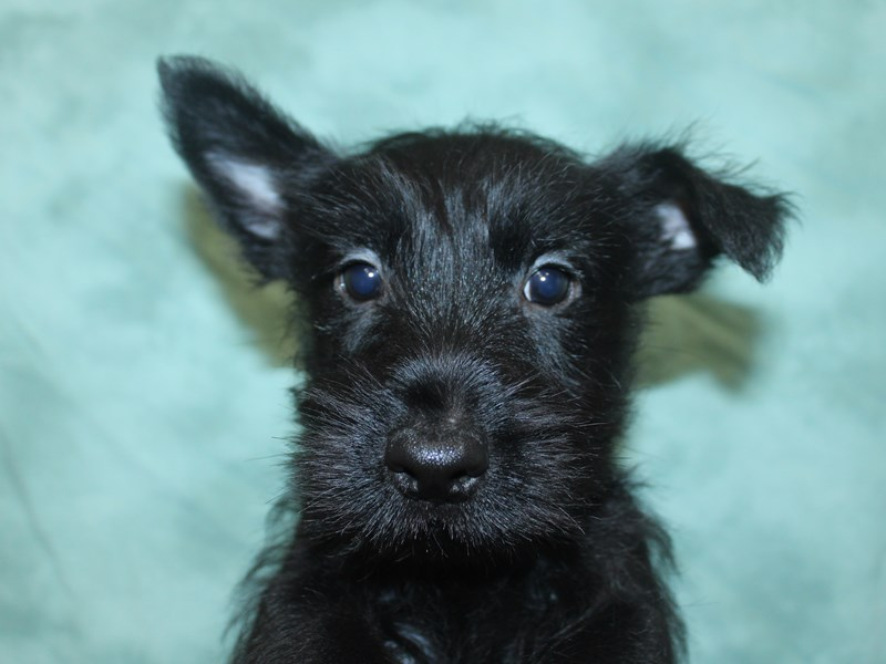 Scottish Terrier-Male-Black-2660439-Petland Dalton