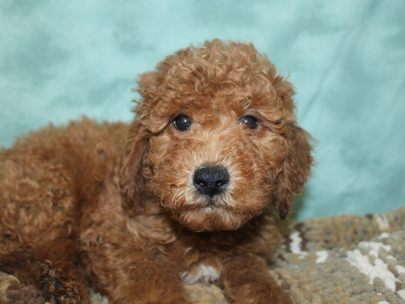 F2 MINI GOLDENDOODLE-Male-Red-2661028-Petland Dalton
