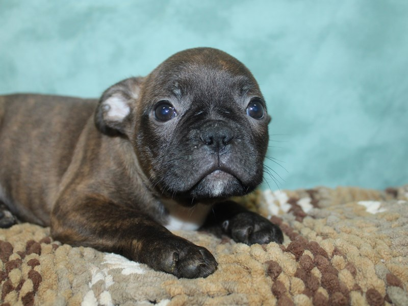 Frenchton-Male-BRINDLE-2661292-Petland Dalton