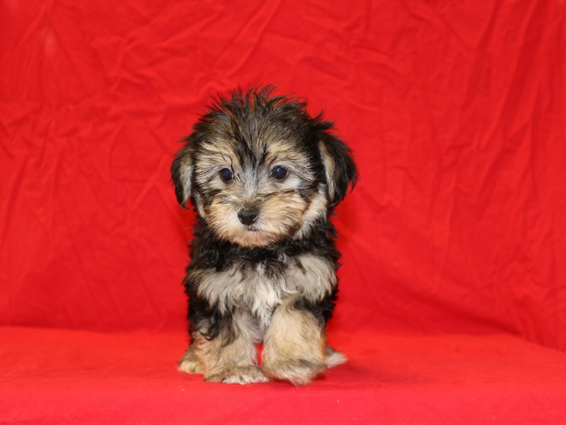 Morkie-Male-Black and Tan-1900021-Petland Dalton