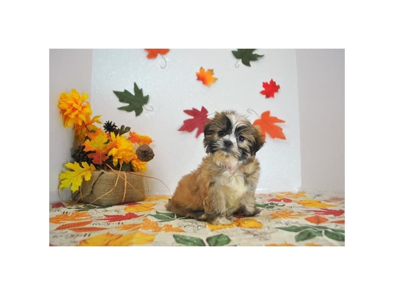 Havanese/Shih Tzu-DOG-Female-Gold-1914335-Petland Dalton